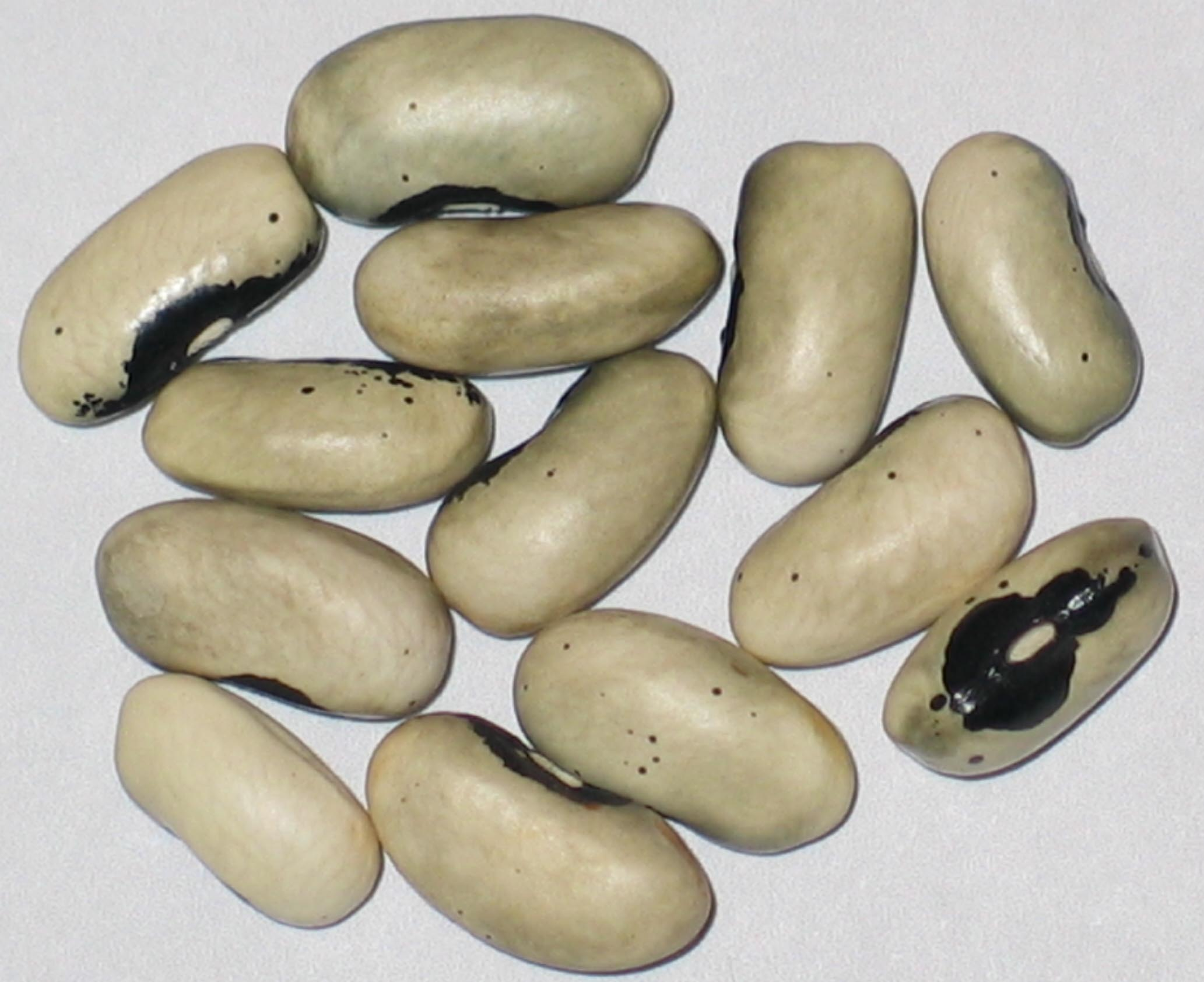 image of Buckskin Girl beans