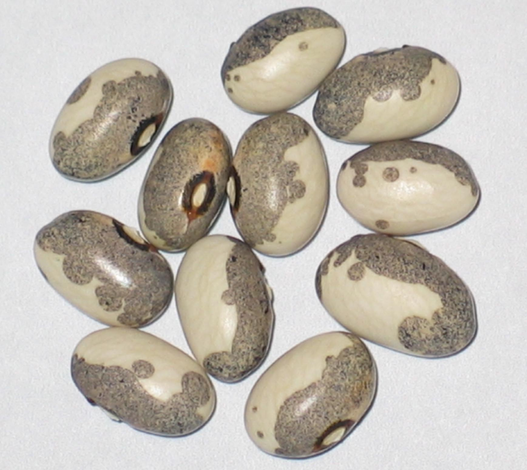 image of Dapple Grey beans