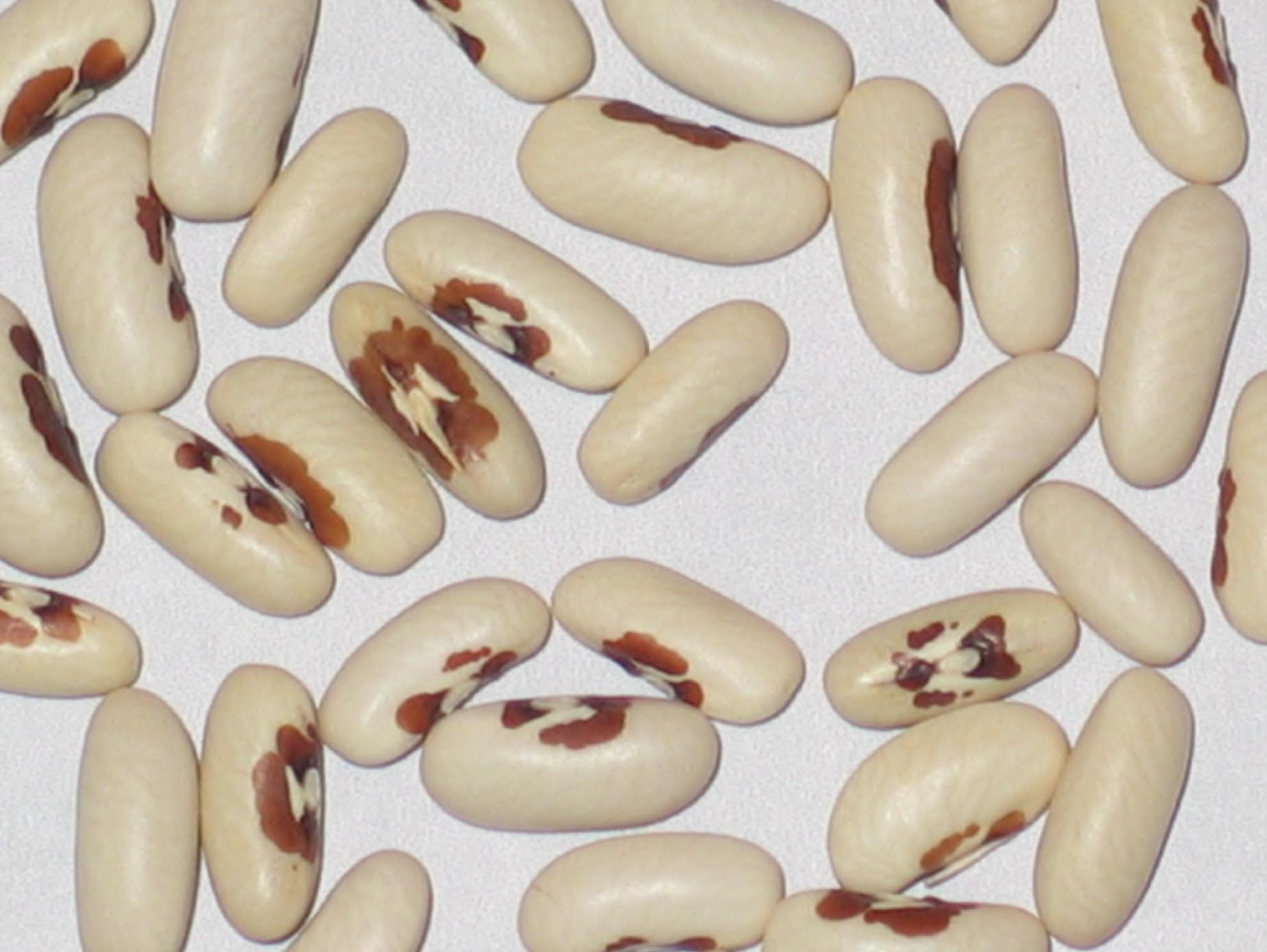 image of Falcon beans