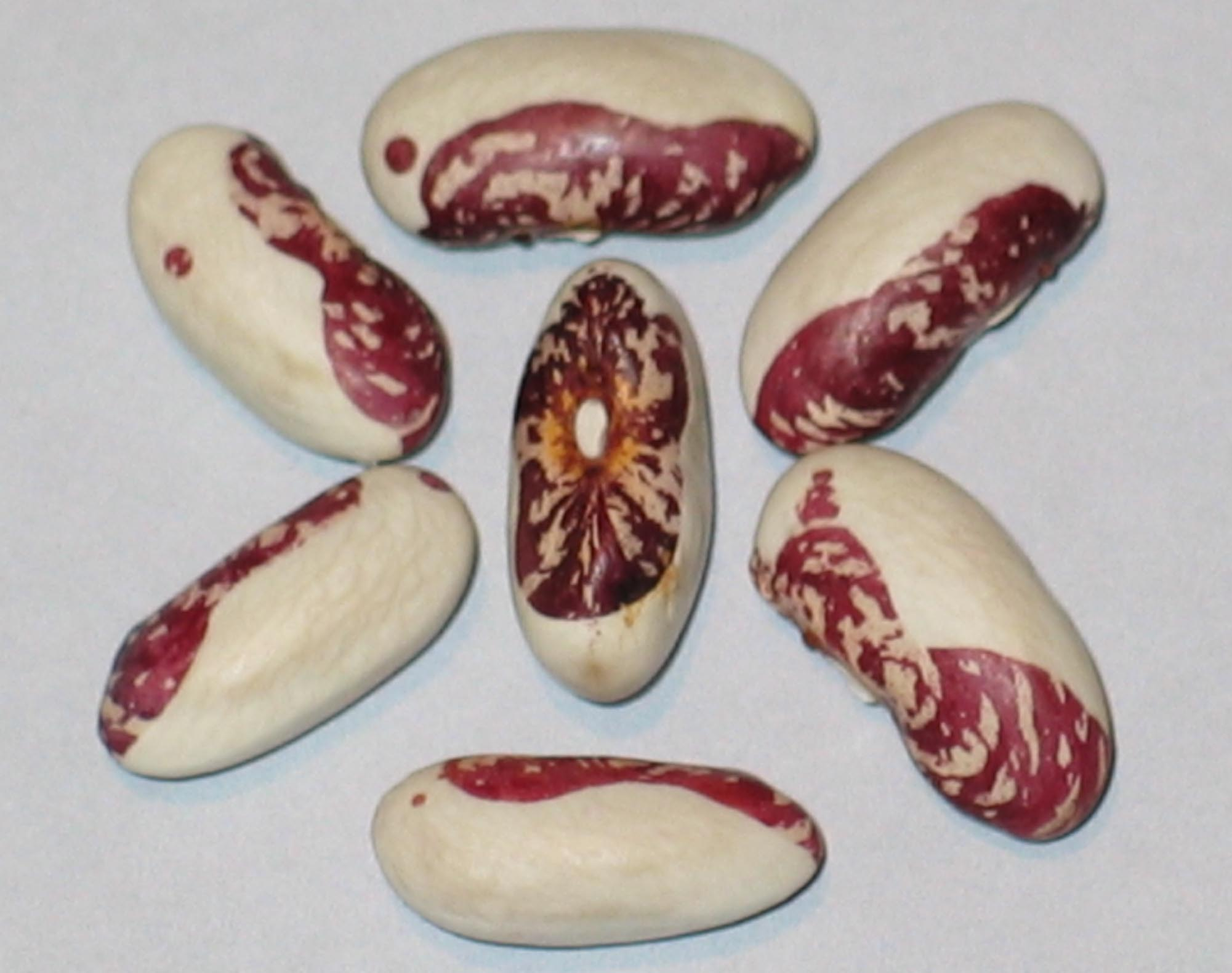 image of Lynnfield beans