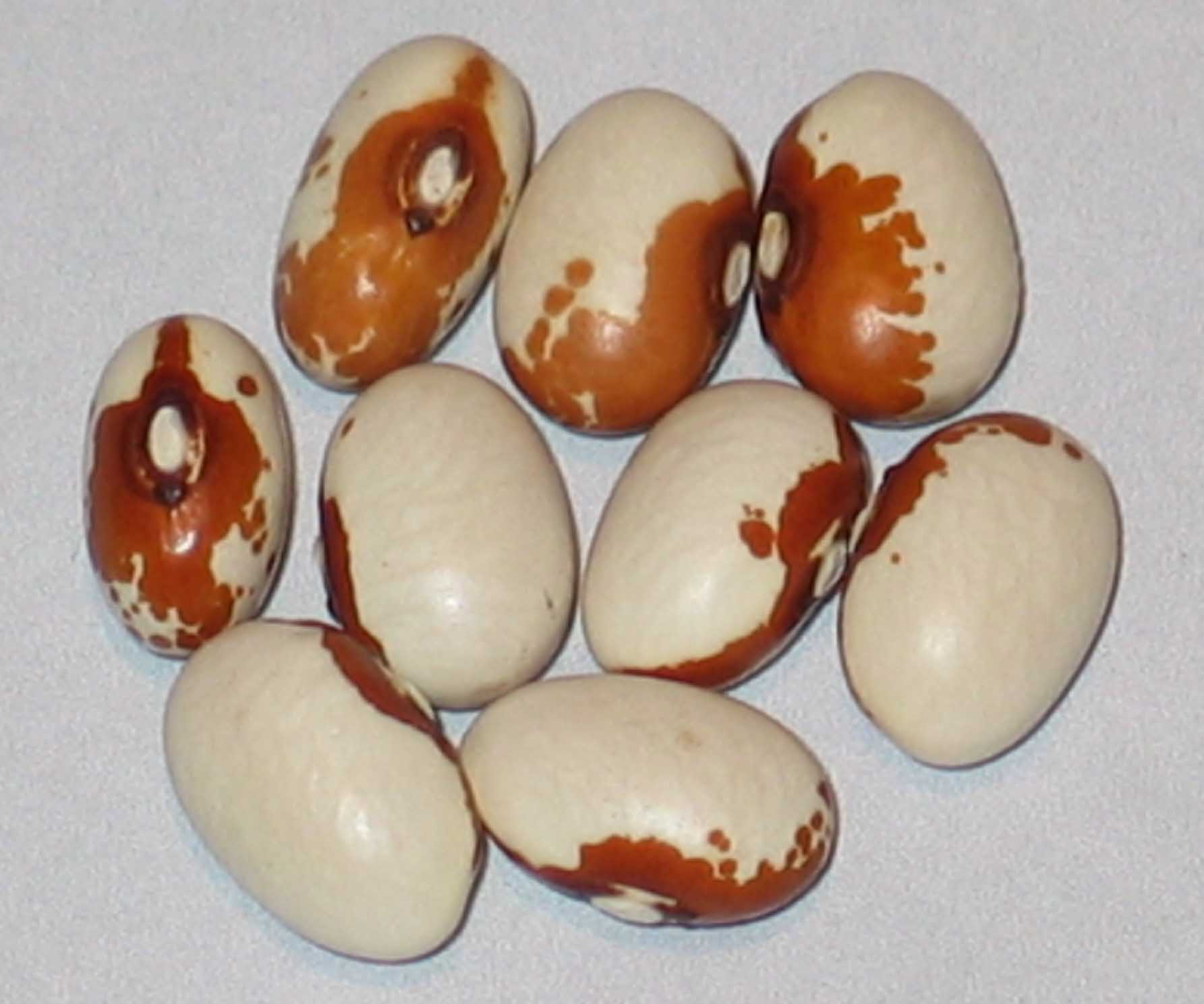 image of Maine beans