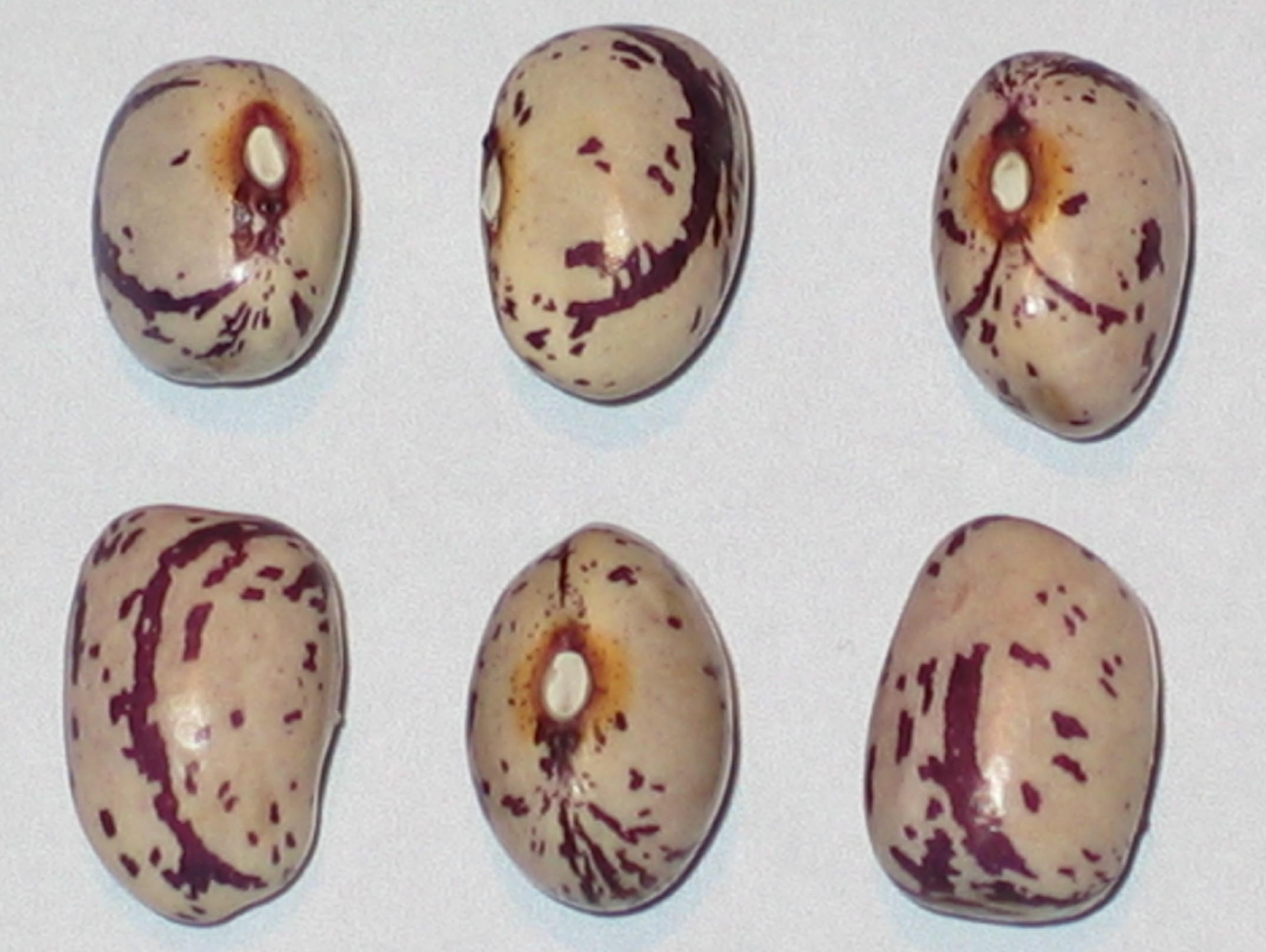 image of Major Cook's beans