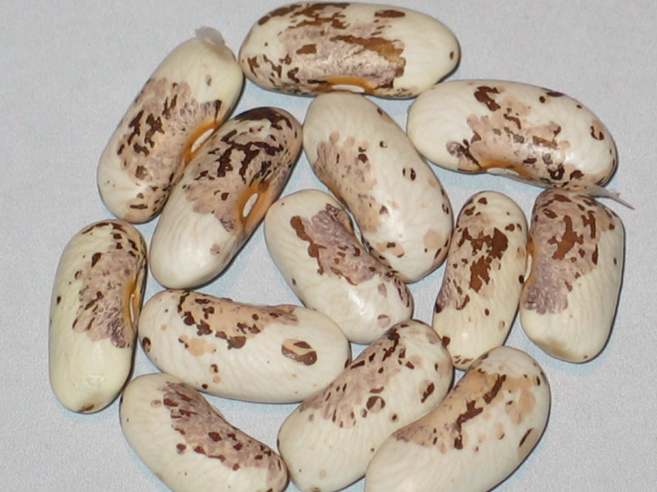 image of Mazeppa beans