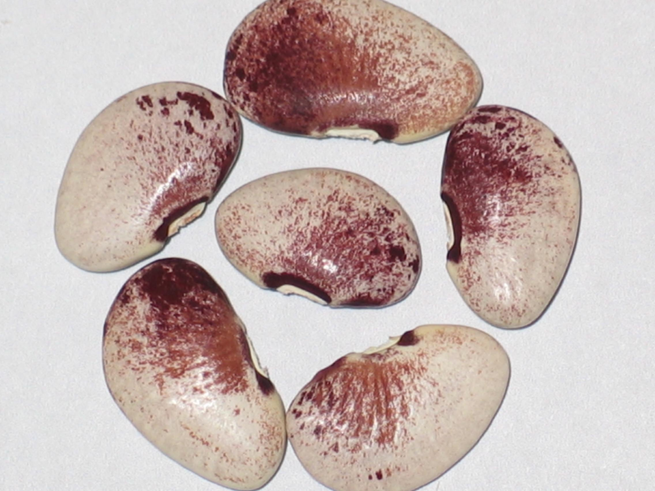 image of North Star beans