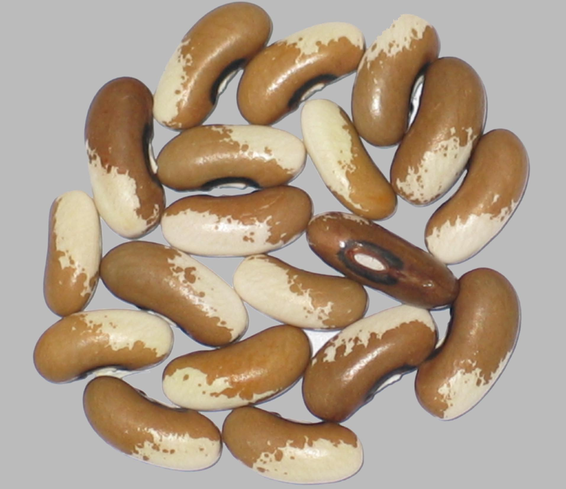 image of Painted Pony beans