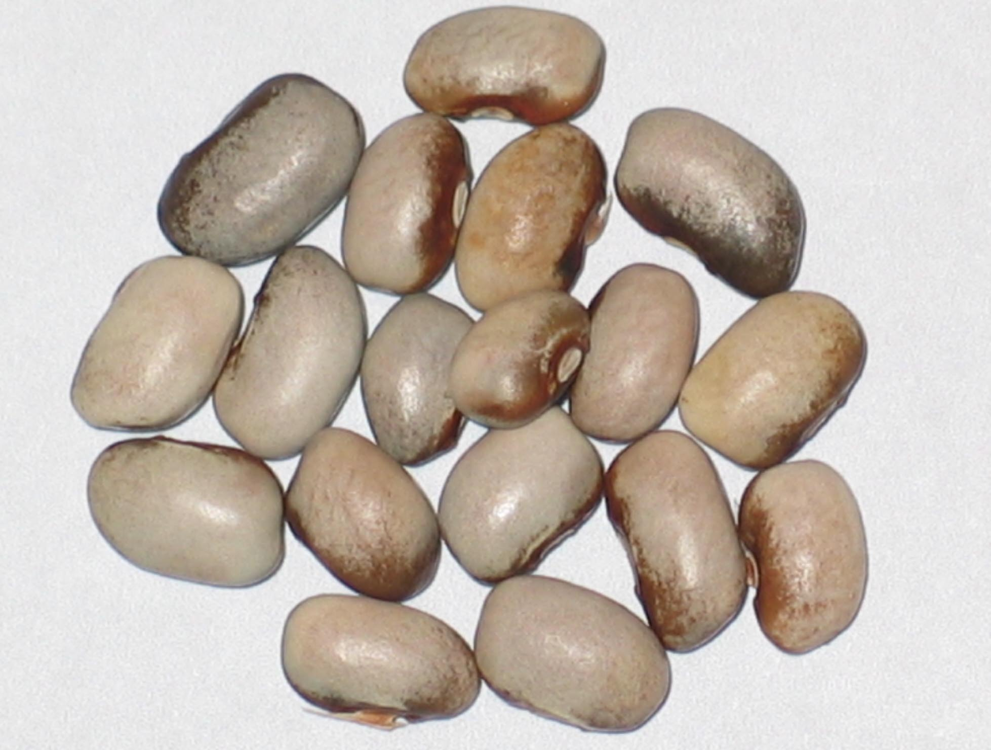 image of Shoshone beans