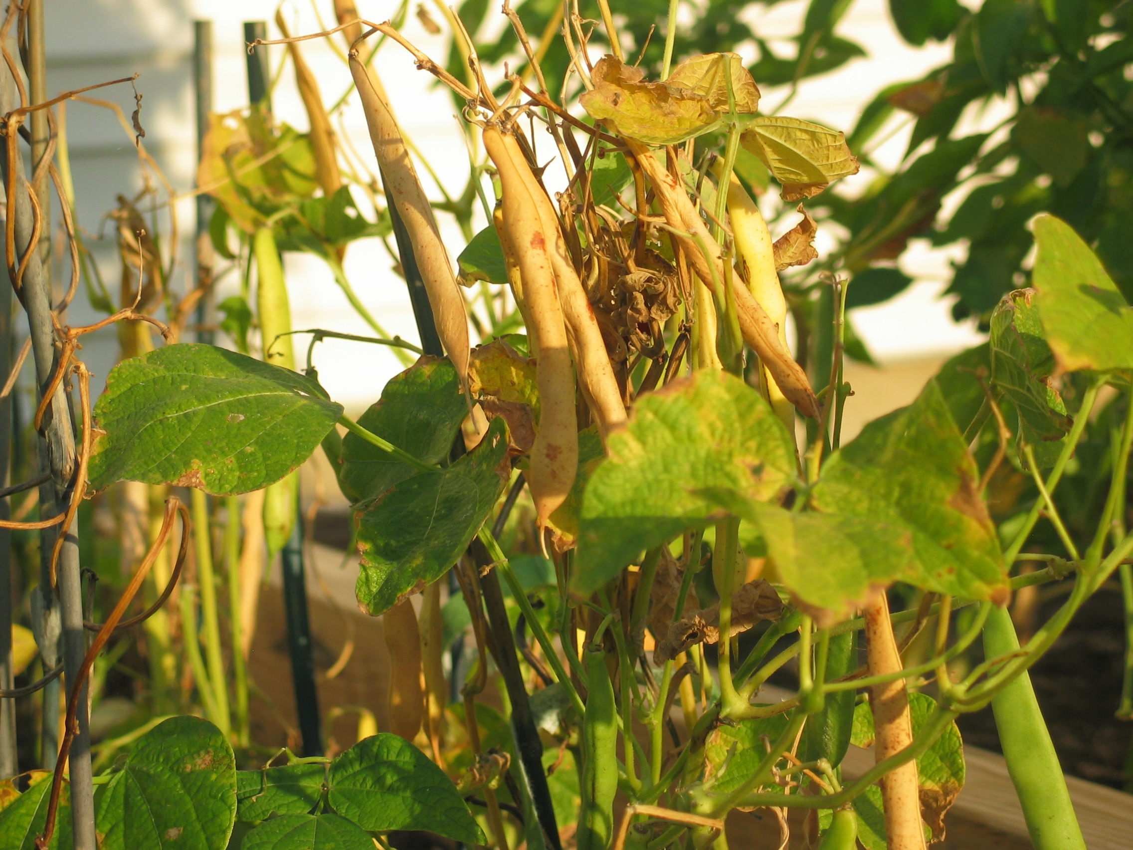 image of pods drying on dying soldier bean plants