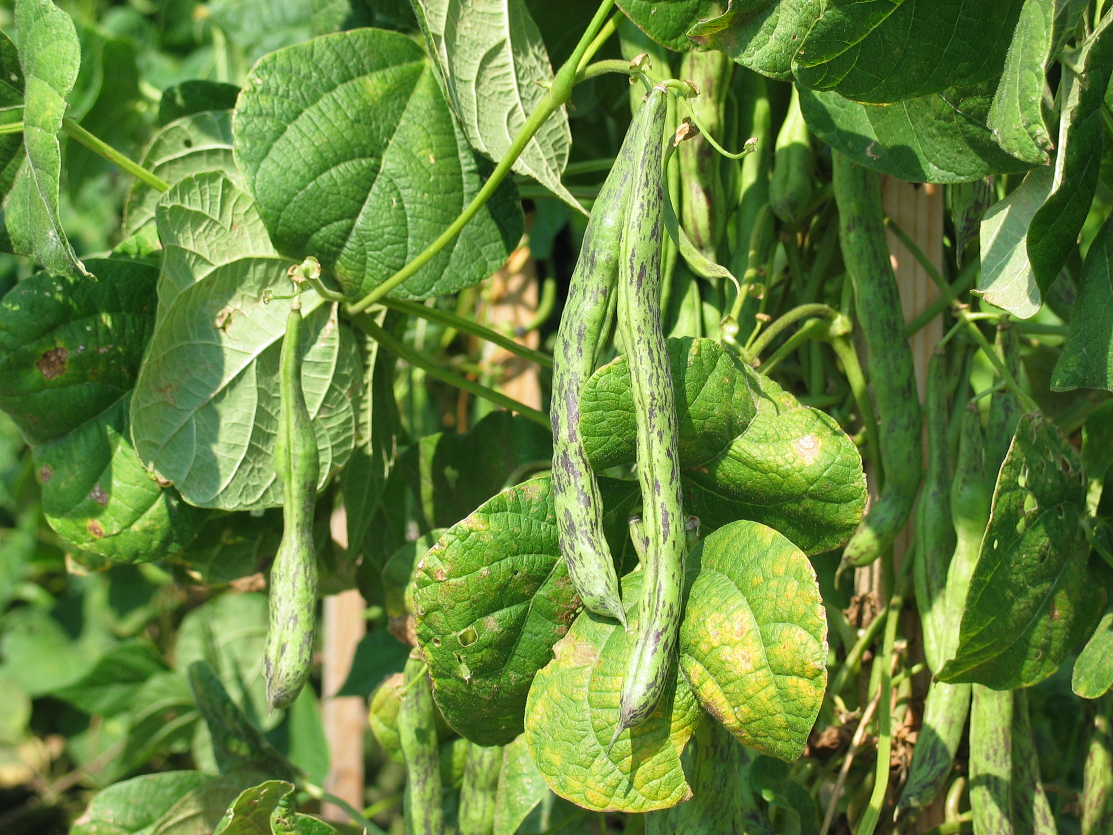 image of green purple striped Louisiana bean pods on the vine
