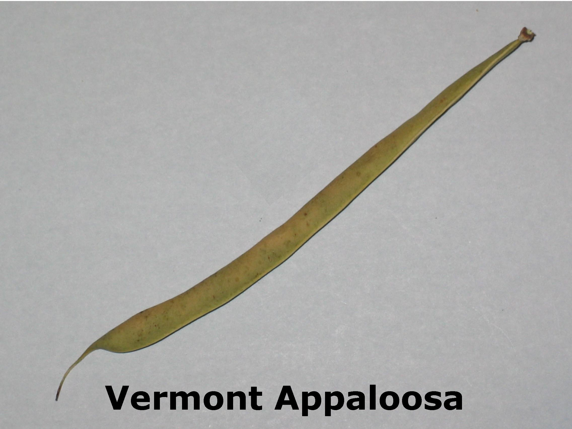image of a Vermont Appaloosa bean pod