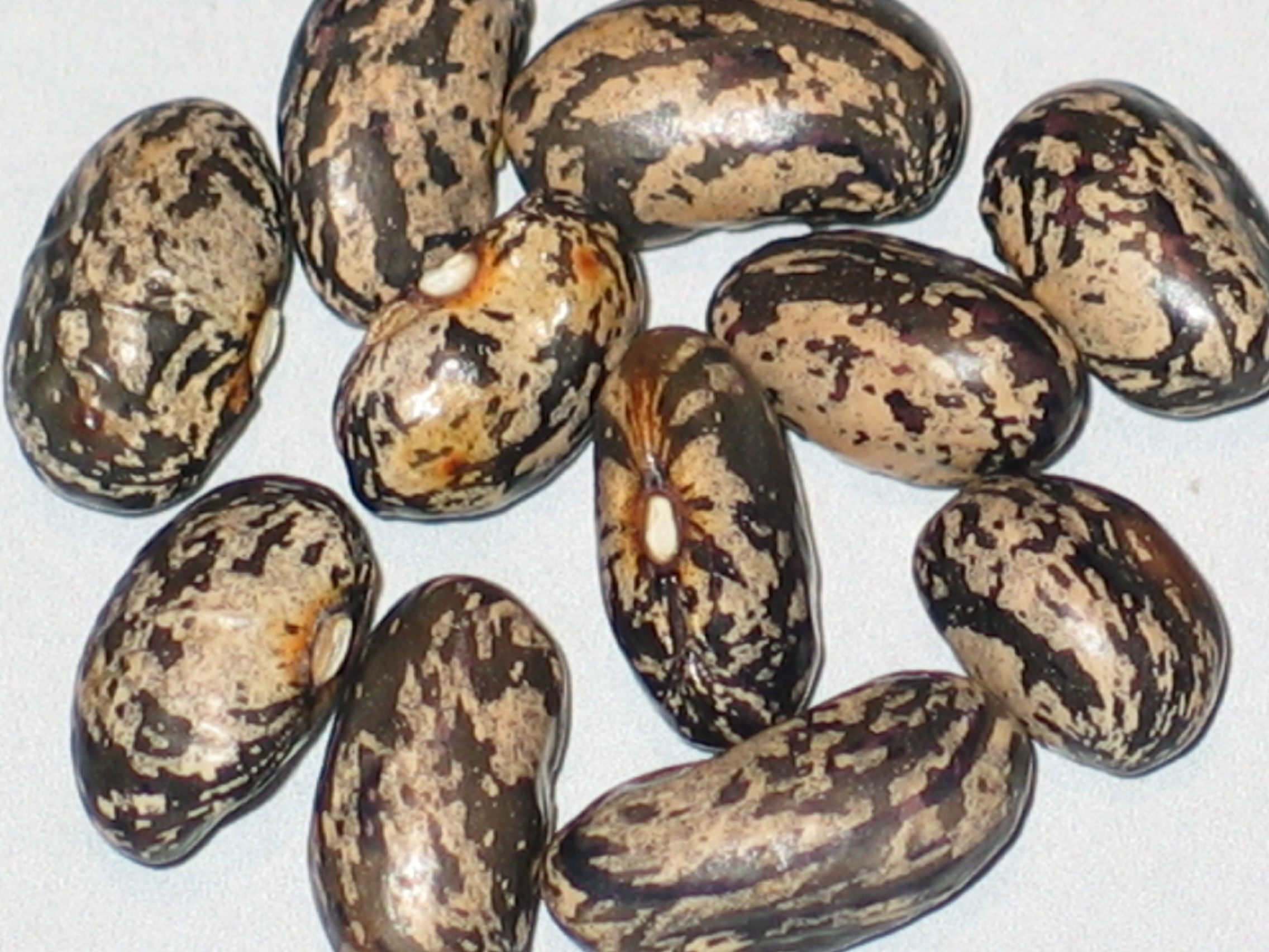 image of Glade Springs beans