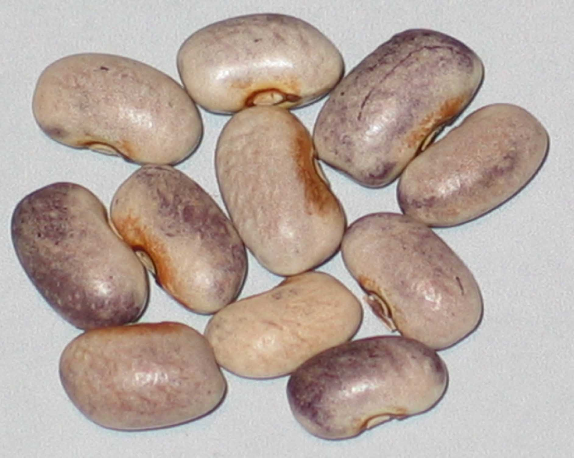 image of Purple Dove beans