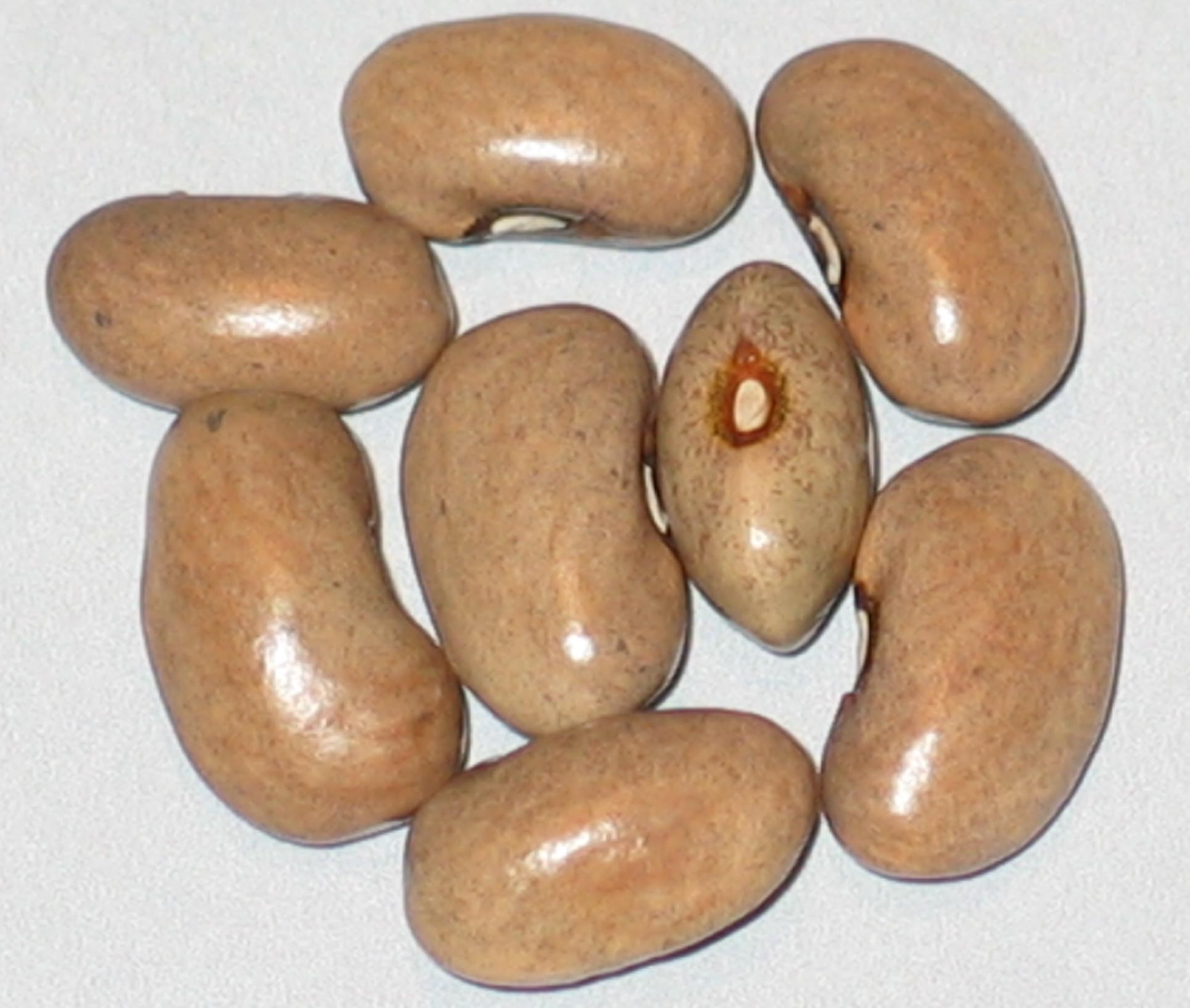 image of Solwezi #2 Outcross beans