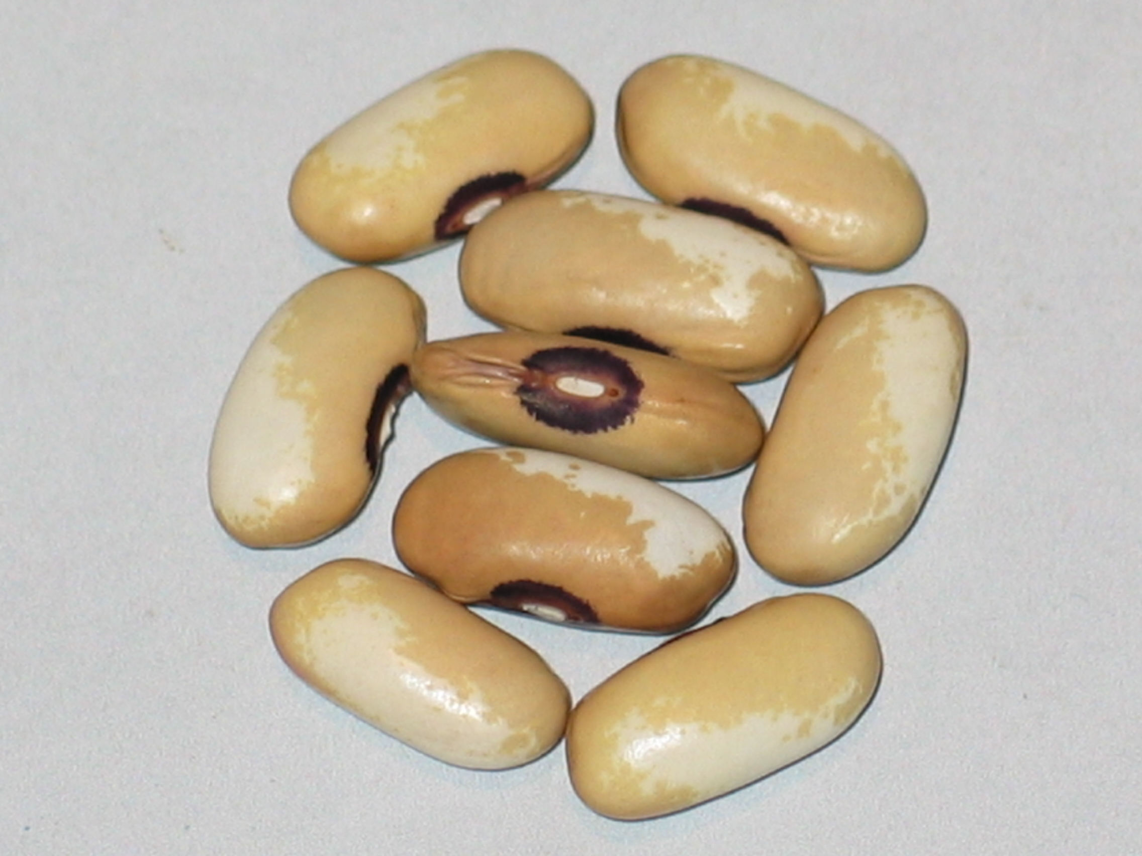 image of Hebron Bean beans