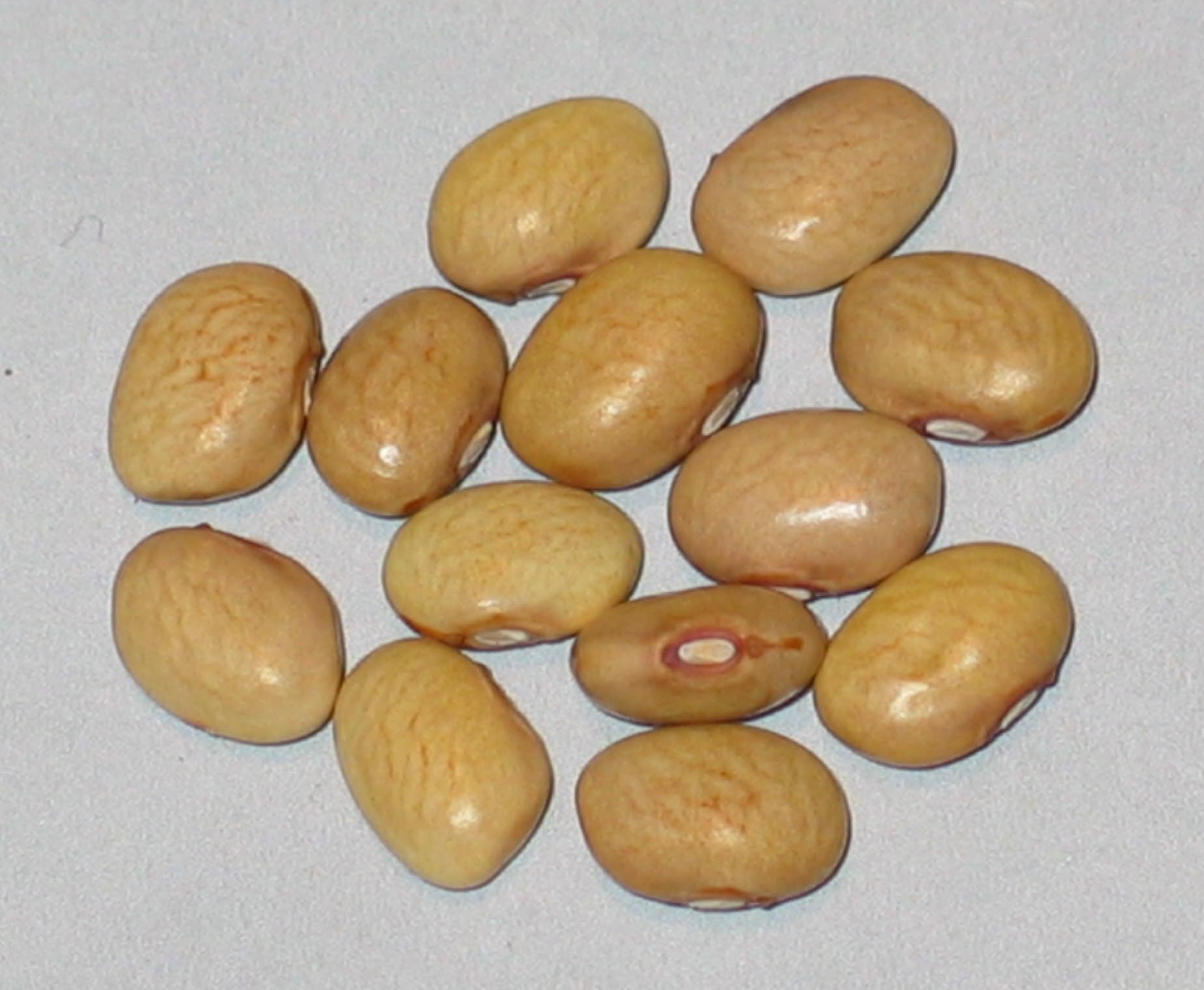 image of Koronis Golden Navy beans