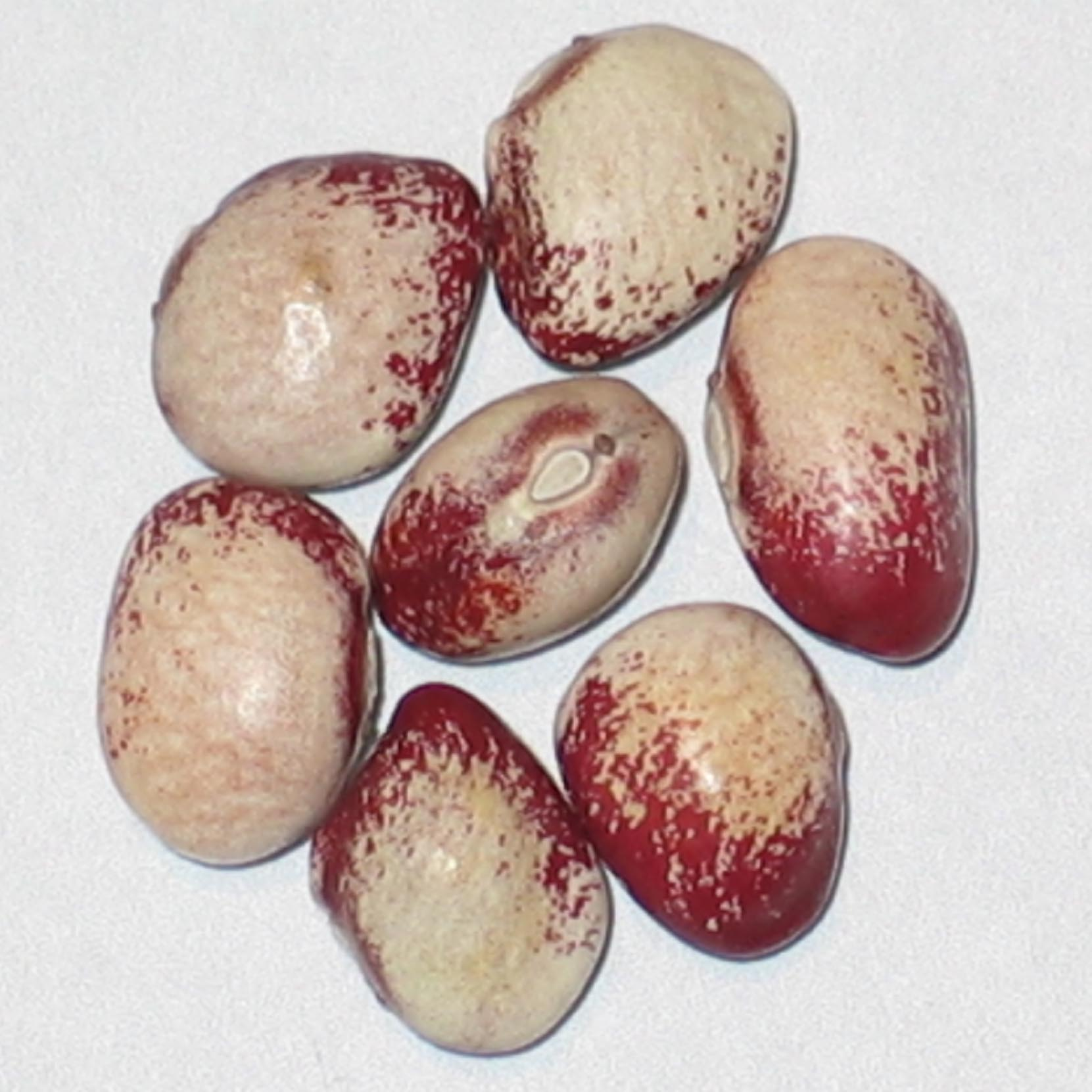 image of Mayflower beans
