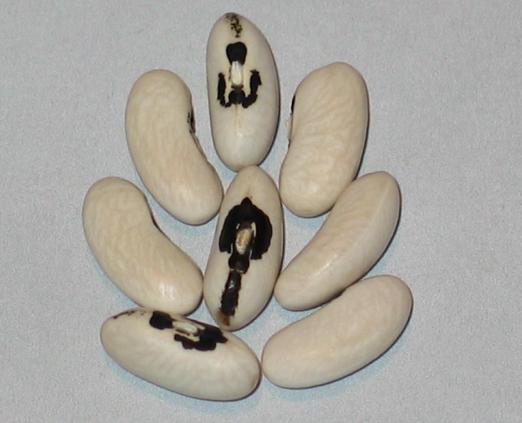 image of Roundpod Kidney Wax beans