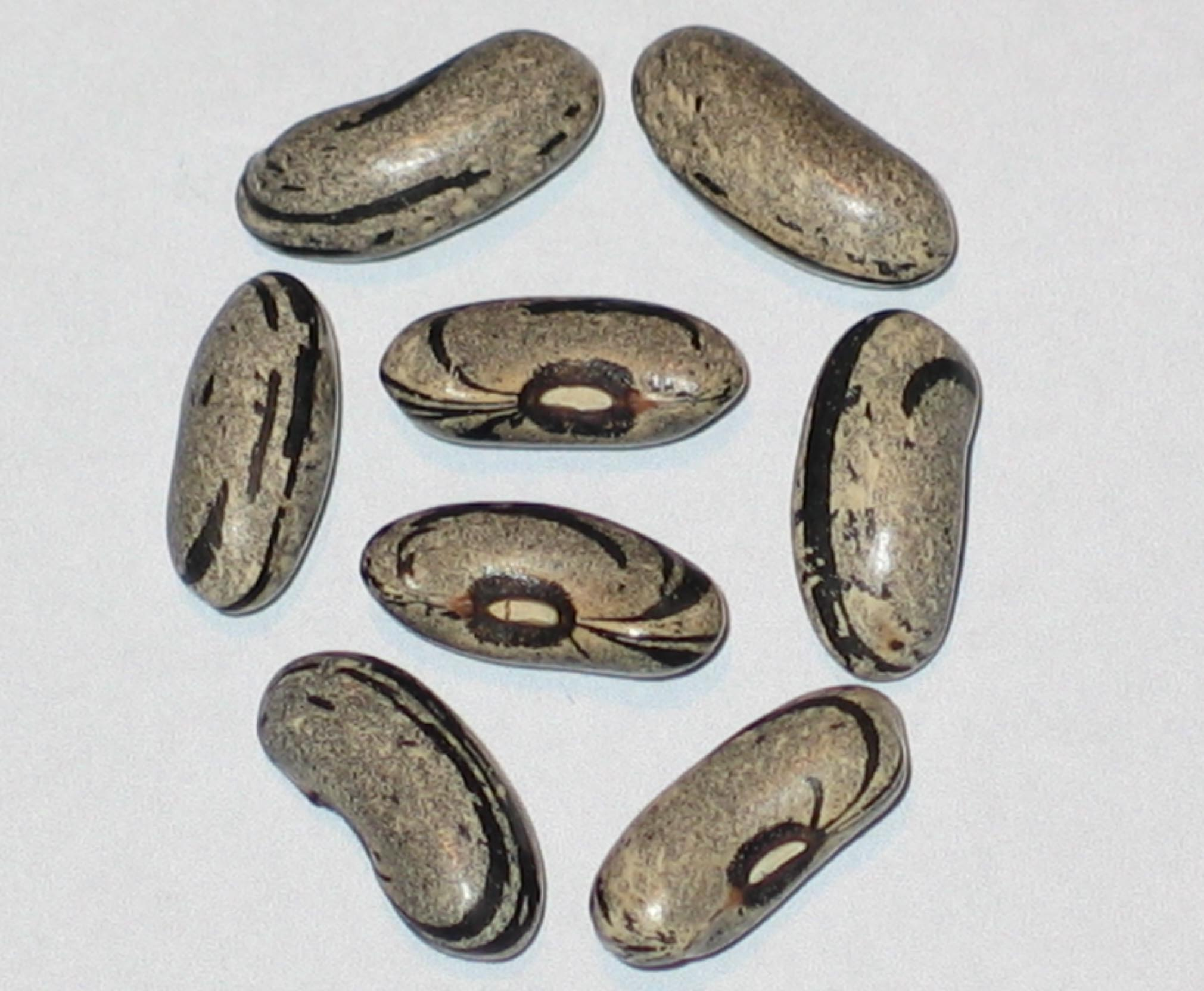 image of Tennessee Wonder beans