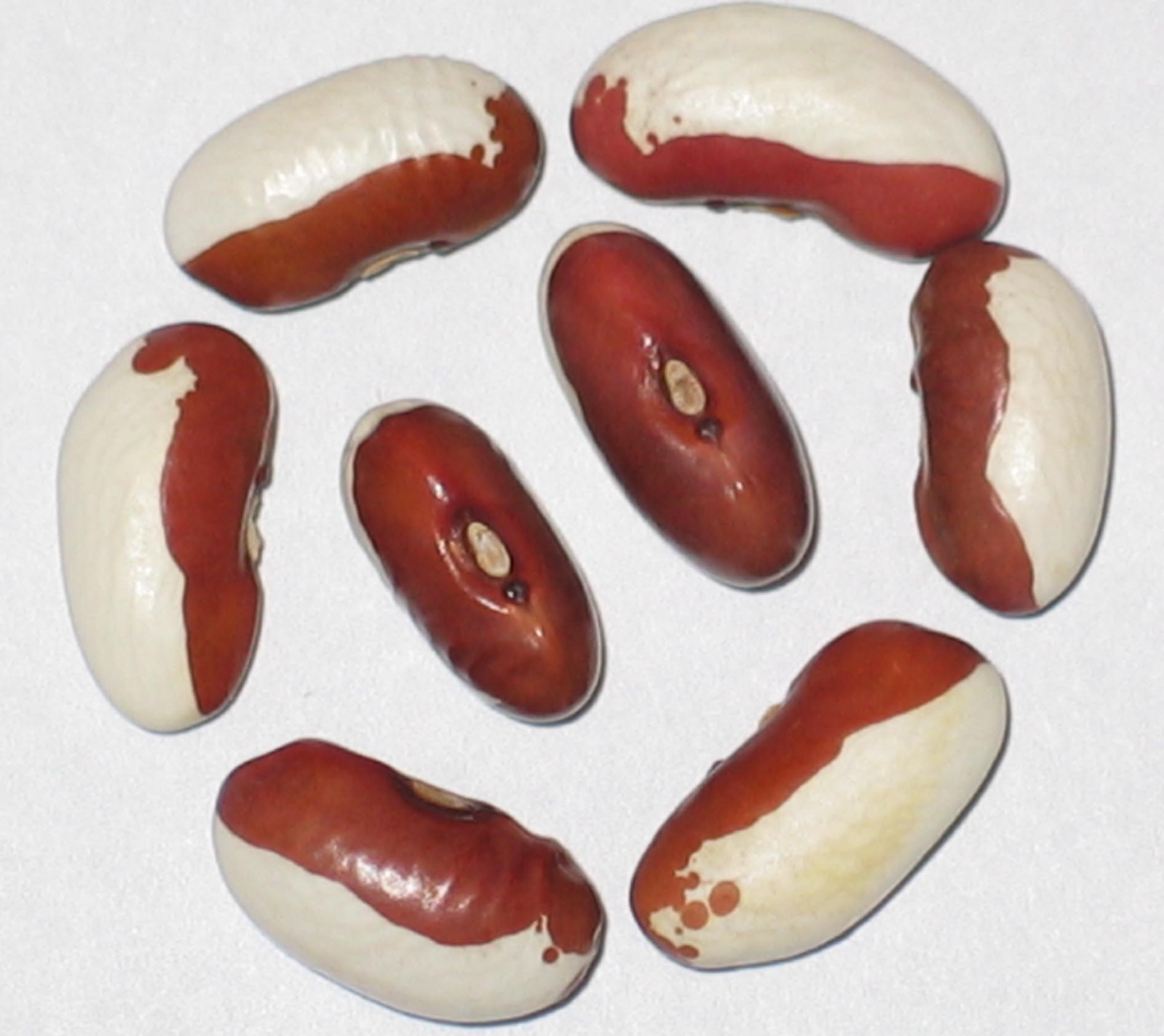 image of White Robbin beans