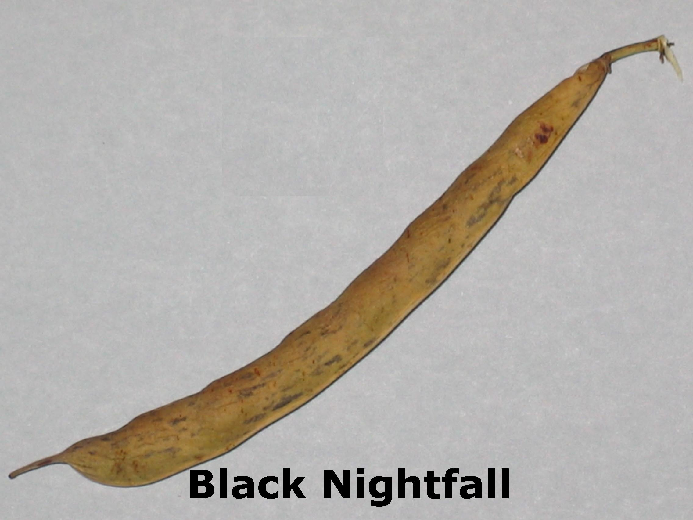 image of a Black Nightfall bean pod