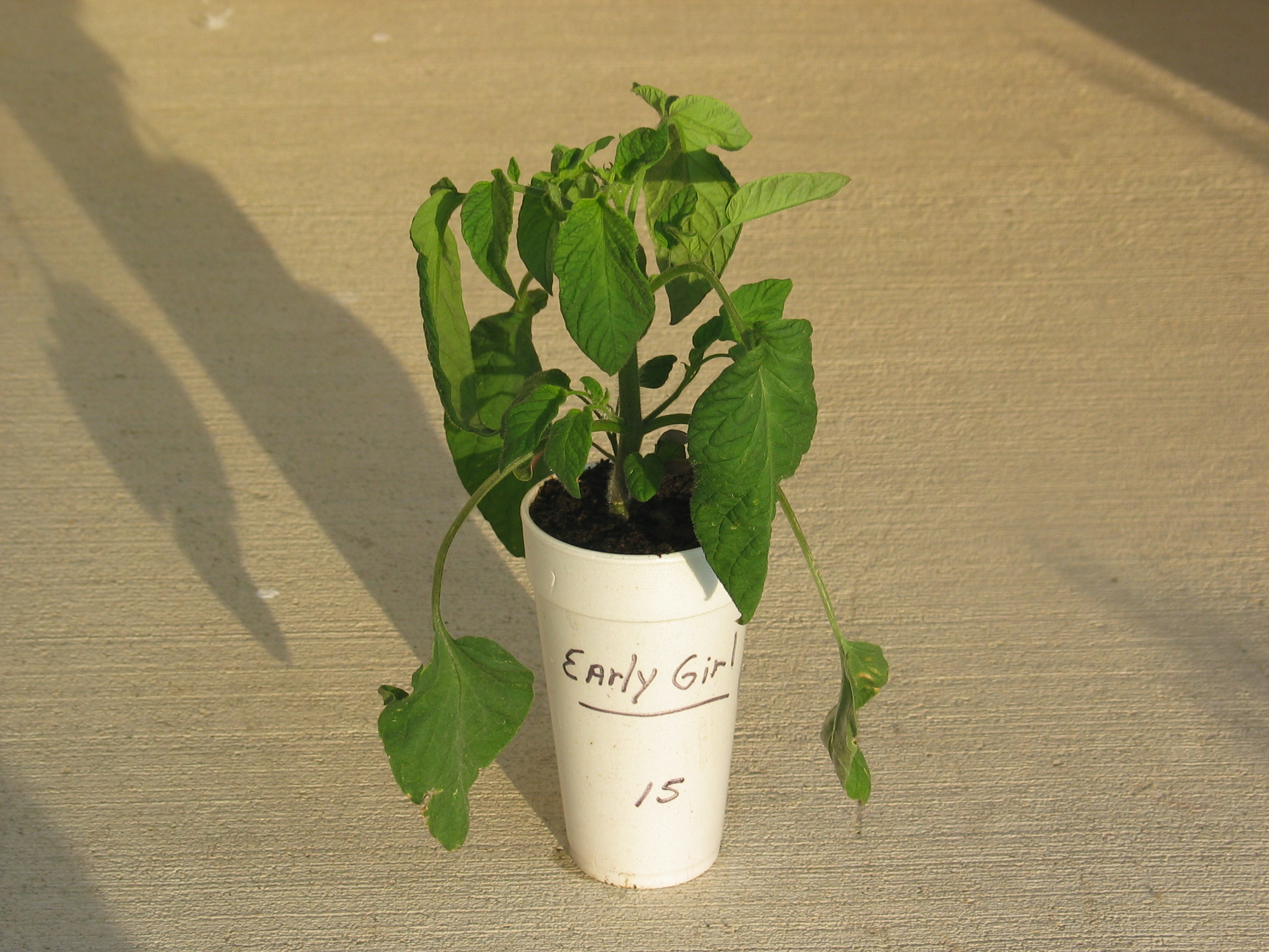 image of a young tomato plant just before planting