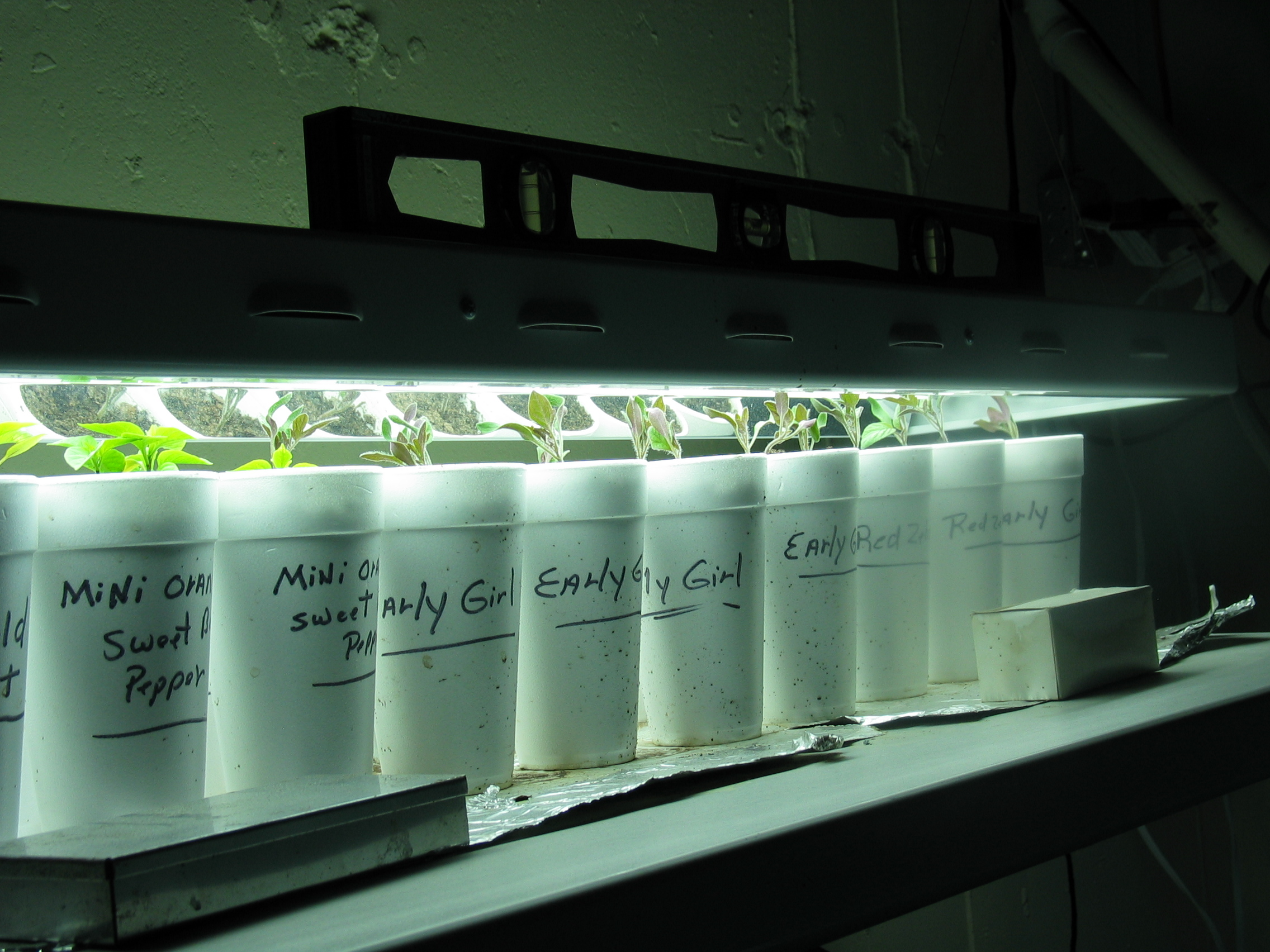 image of young tomato and pepper plants growing under growlights