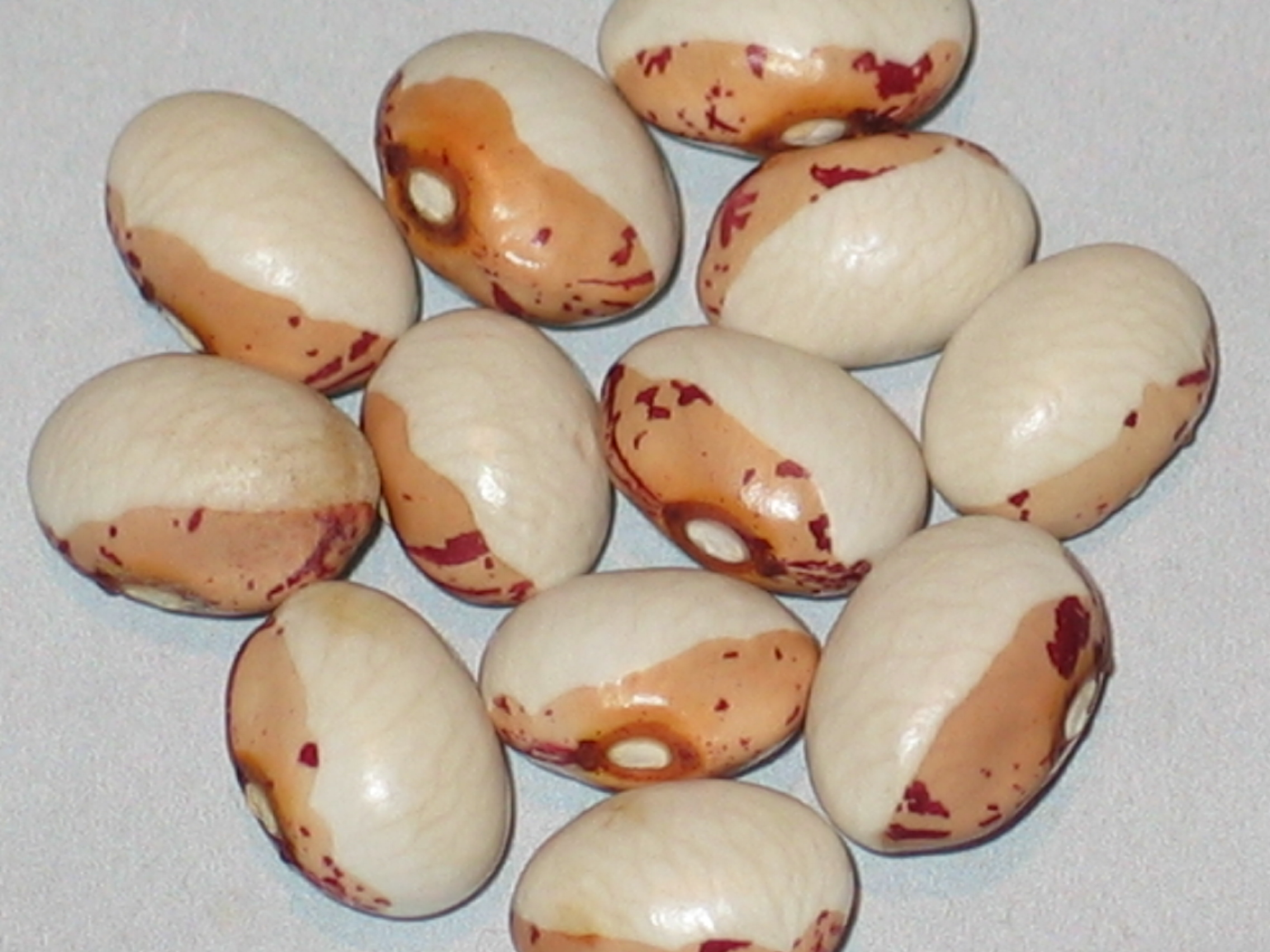 image of Half White Sugar beans